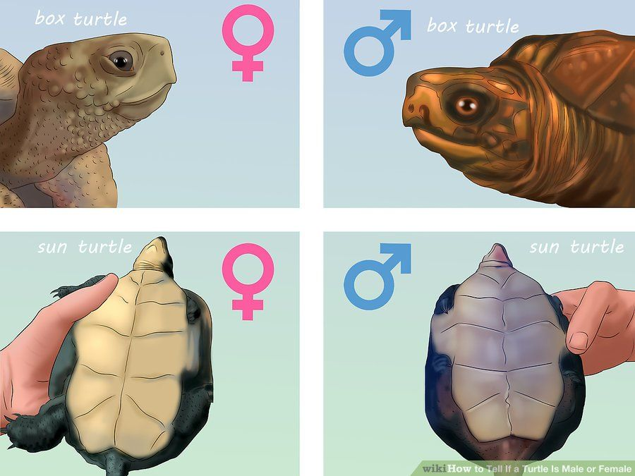 Tell If A Turtle Is Male Or Female  Wikihow Tips  Tricks -1249