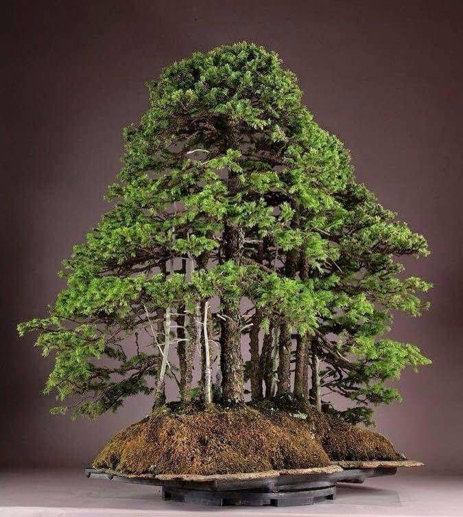 bonsai forrest bonsai shohin bonsai penjing pinterest baum und zwerg. Black Bedroom Furniture Sets. Home Design Ideas