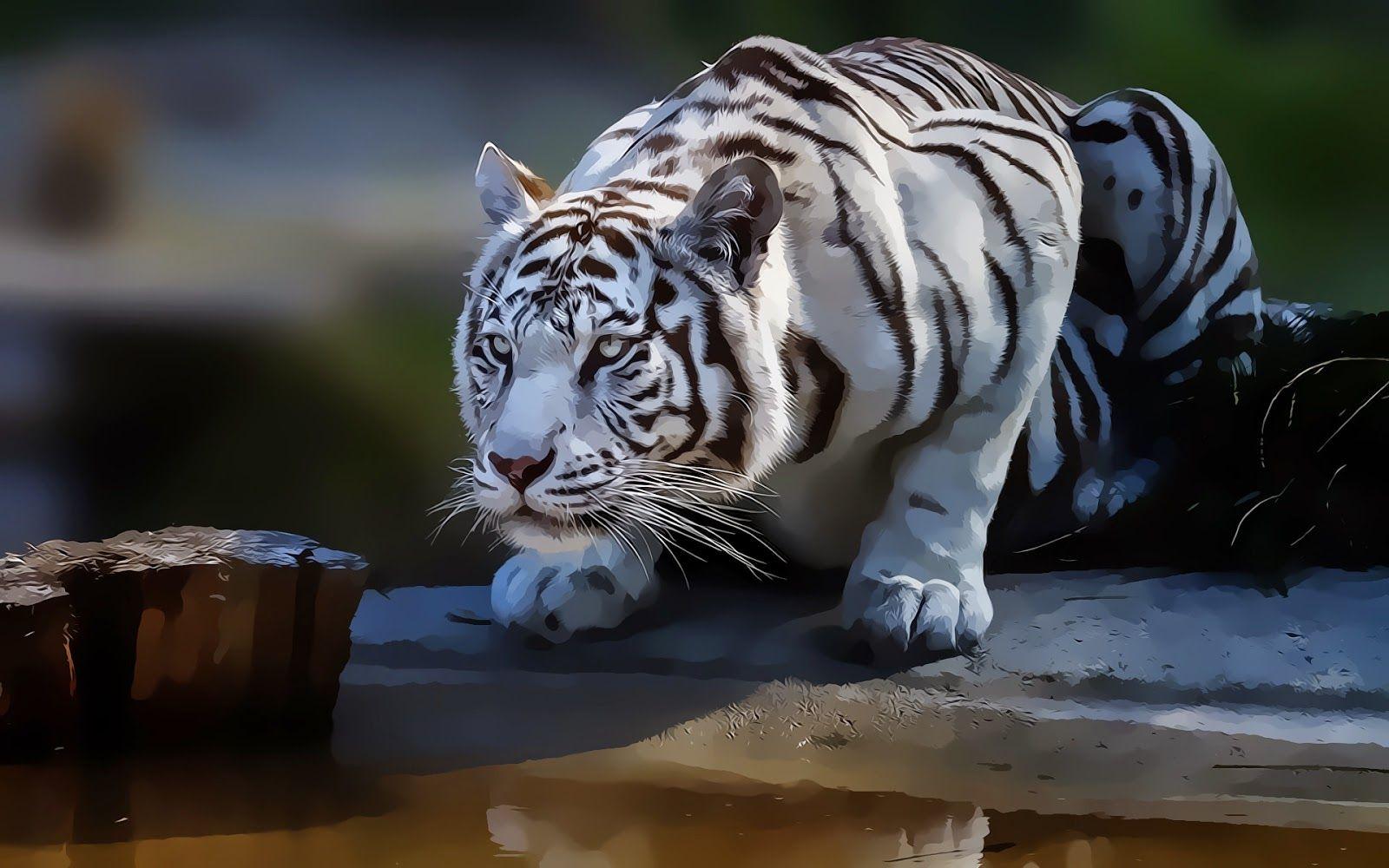 White Tiger Wallapper Wallpapersxplore Free Hd Desktop