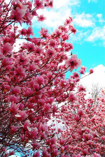 Magnolias At Church My Wish Want List Magnolia Trees Magnolia