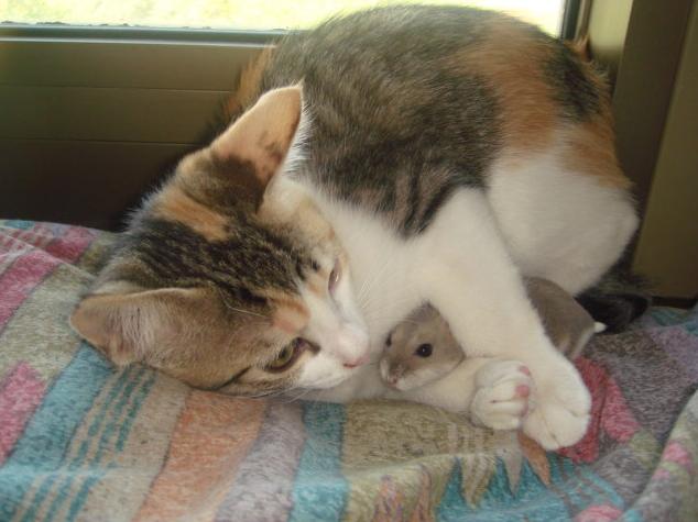 Ensimmäinen mielikuva kissoista ja hiiristä on se, että pikku hiiri juoksee henkensä edestä karkuun nälkäistä ja vihaista kissaeläintä. Nyt voimme heittää hyvästit näille mielikuville ja...