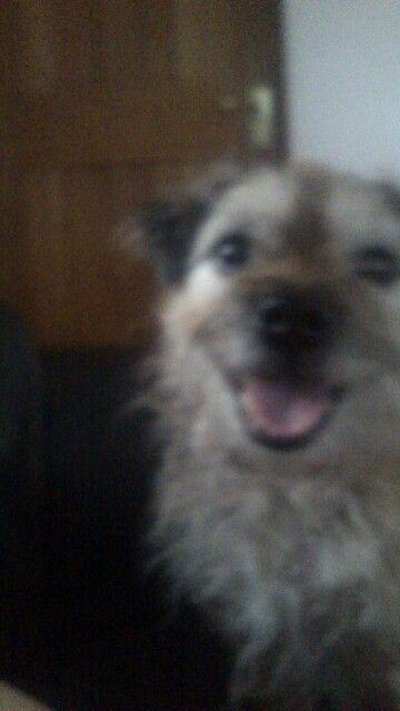Scooby The Border Terrier Border Terrier Terrier Dogs
