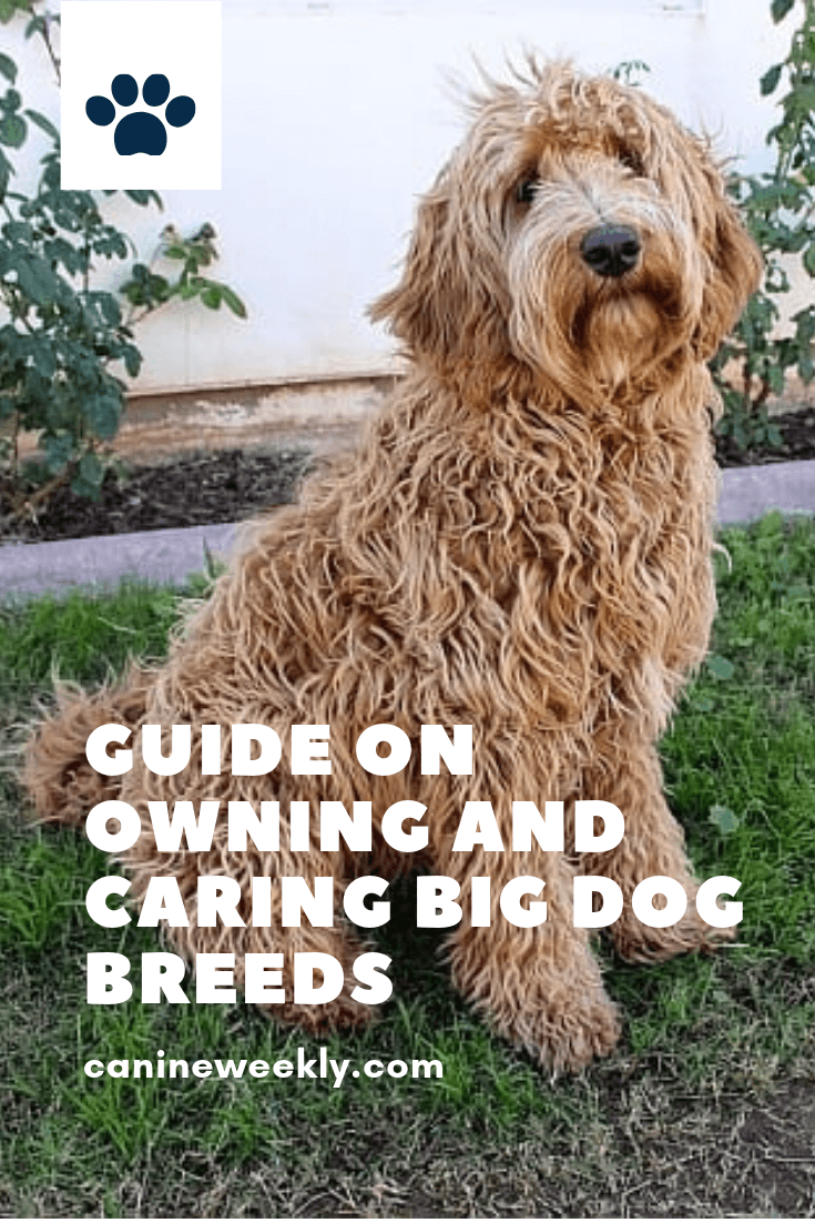 13 Best Big Dog Breeds Top Large Dogs For Families And Kids Big Dog Breeds Big Dogs Best Big Dog Breeds