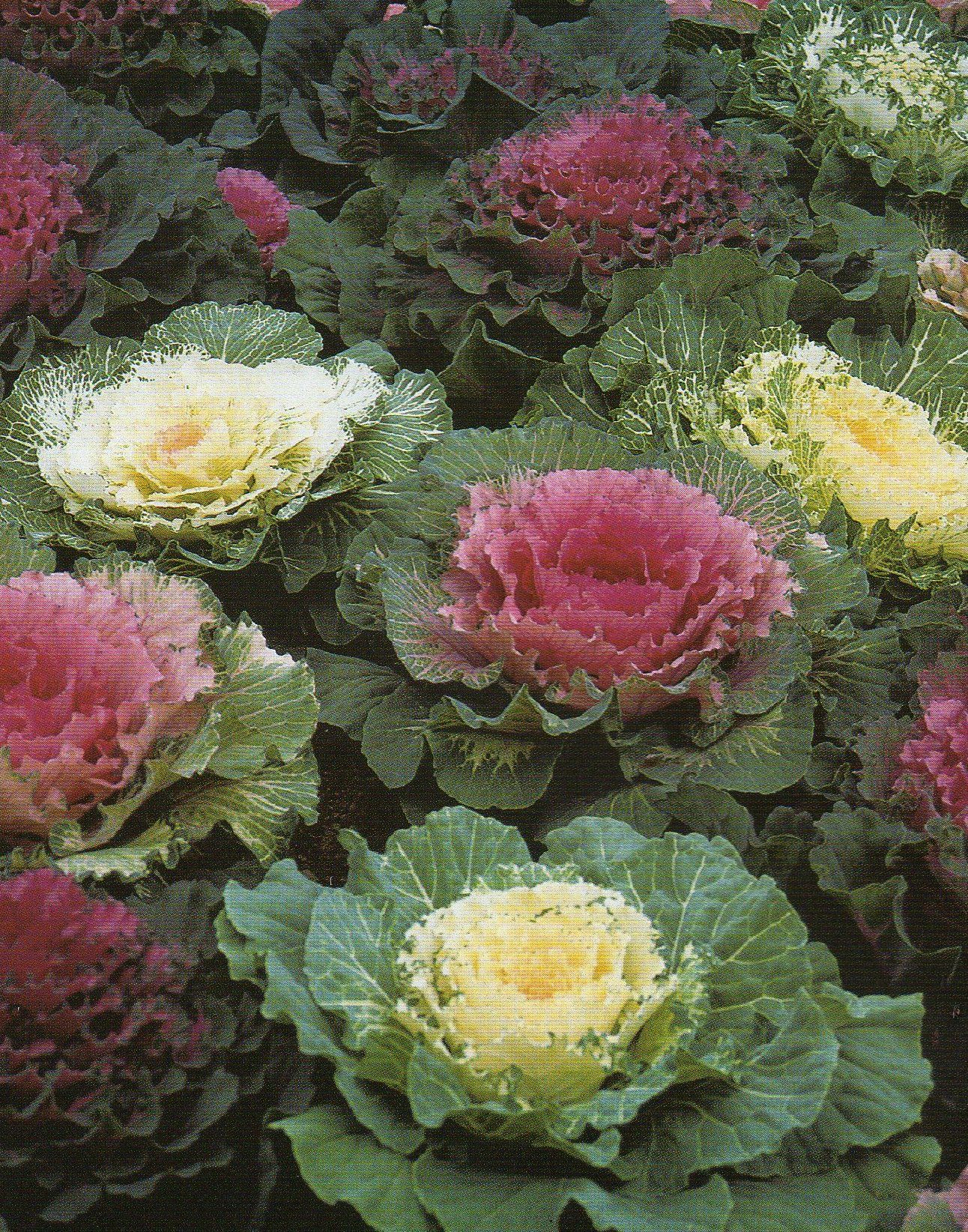 Image Detail For Growing And Eating Ornamental Kale Gardeners Tips Ornamental Kale Ornamental Cabbage Annual Bedding Plants