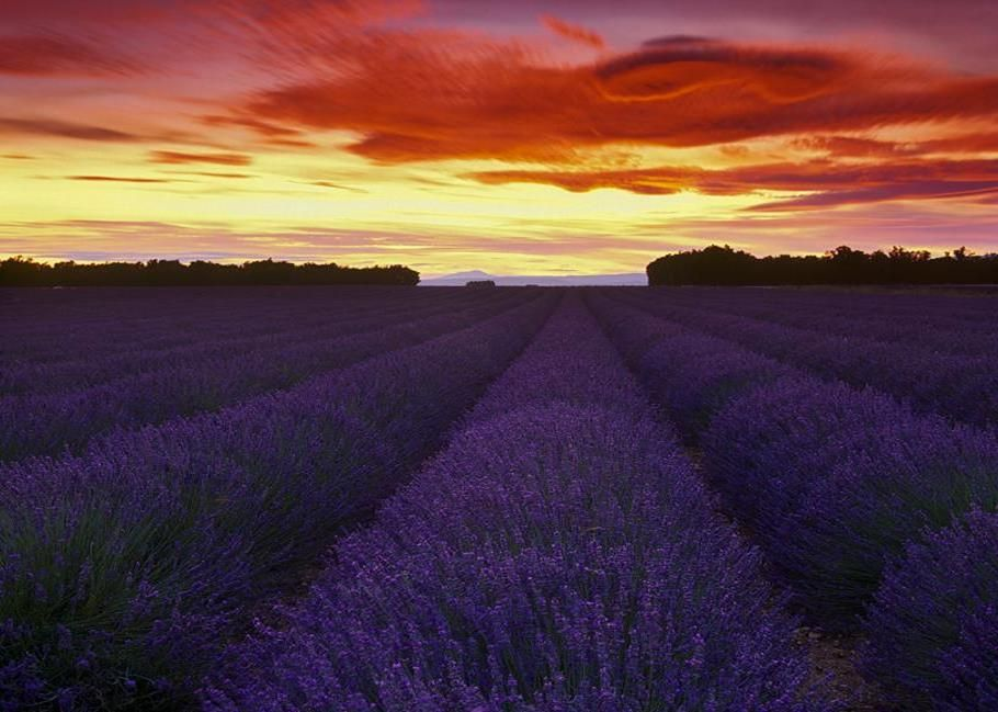 Camp de Lavanda.  Valensole, France.