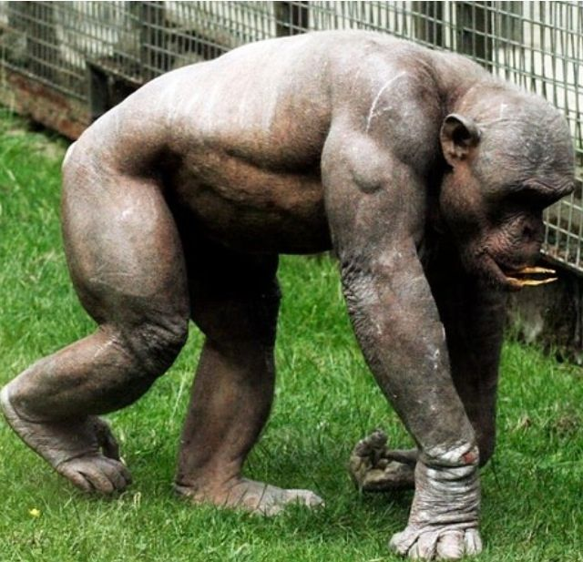 Seeing a shaved chimp makes you realise how fucked you are if you