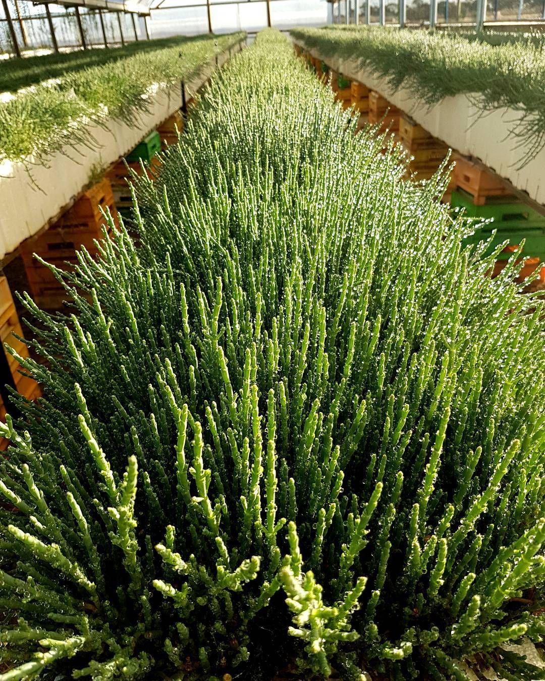 Comment Planter Des Asperges samphire for miles. #sarcocornia quinqueflora