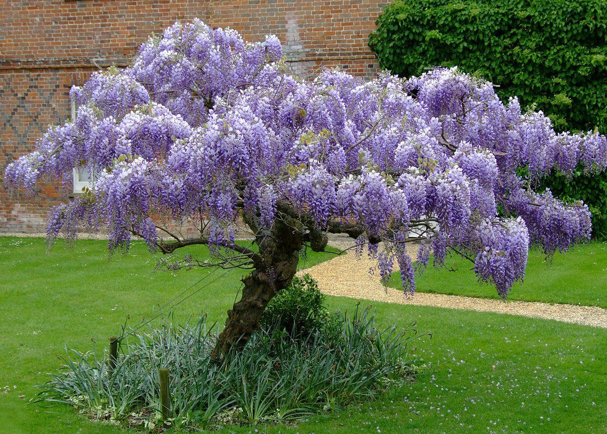 Wisteria Sinensis Is The Ever Popular Chinese Wisteria