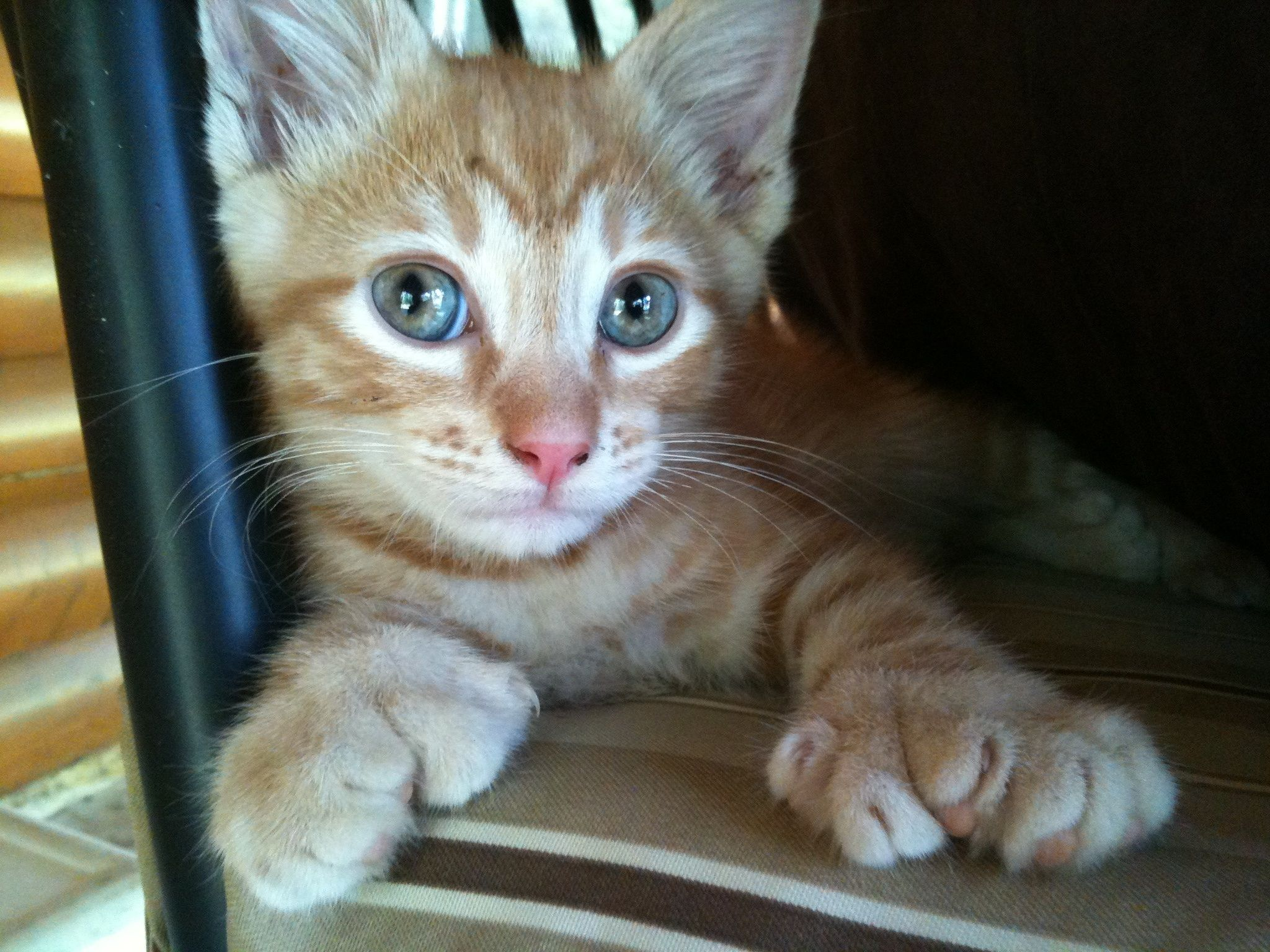 Polydactyl ;) Cat facts, Cat having kittens, Cat has fleas