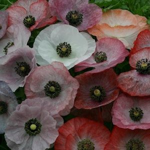 Mother Of Pearl Shirley Poppy Seeds Garden Seeds Annual Flower