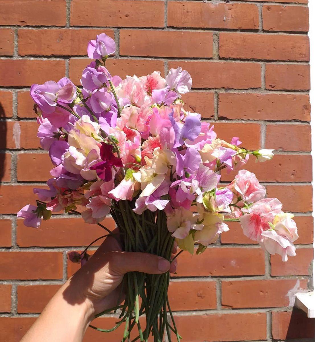 Buy Sweet Pea Online In 2020 Sweet Pea Flowers Flowers For Sale Pea Flower