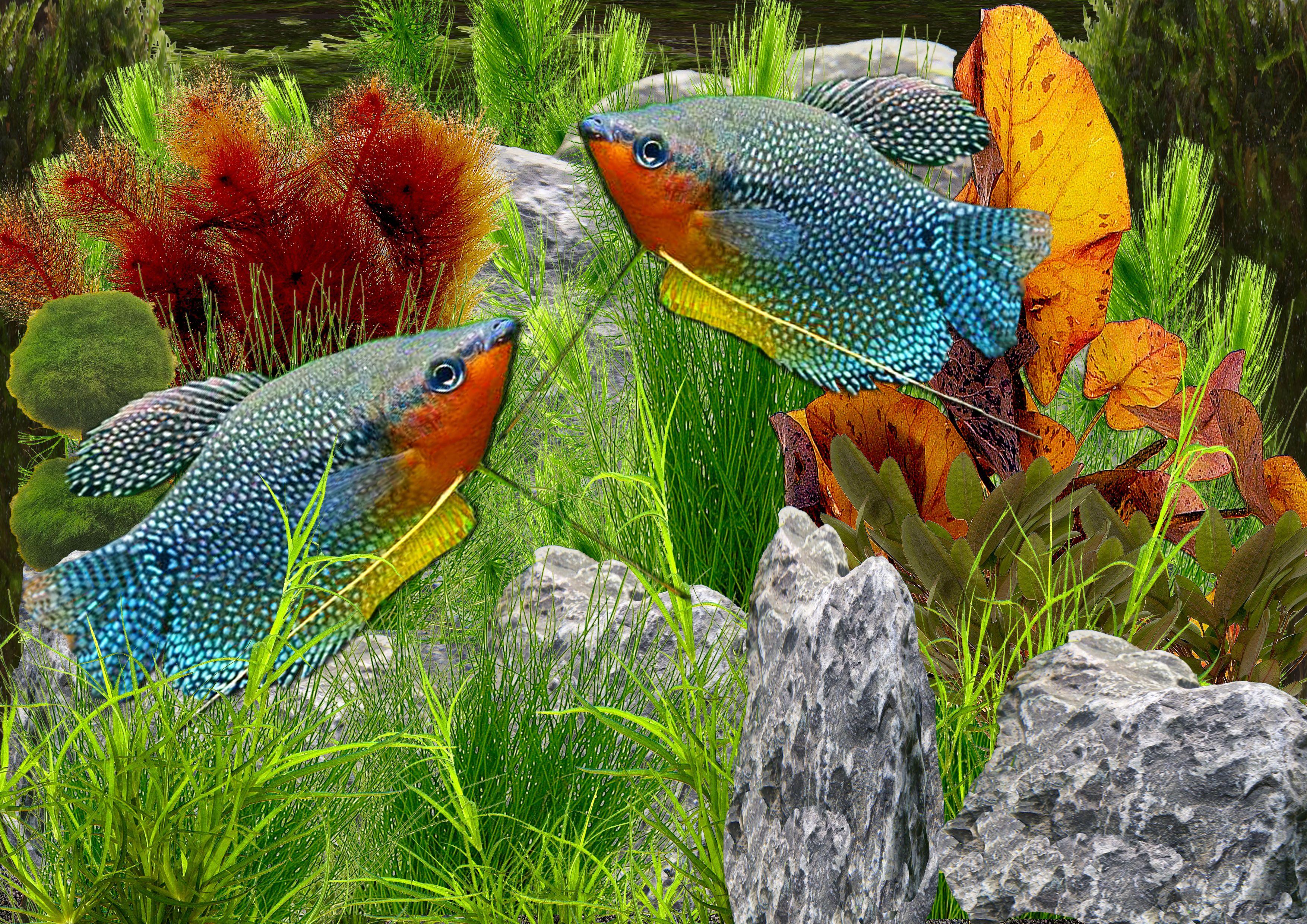 Animals Aquatic Class Freshwater Guide Platy Tropical Platy Class Guide Tropical Freshwa Aquarium Fish Tropical Freshwater Fish Tropical Fish Aquarium