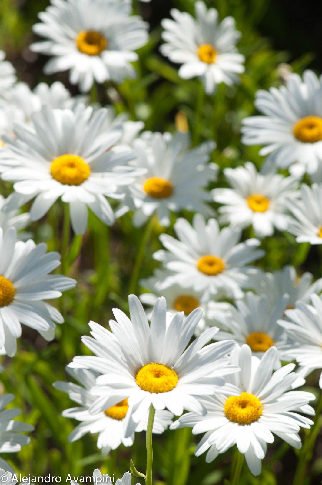 Margaritas en la primavera en villa la angostura patagonia margaritas en la primavera en villa la angostura patagonia argentina daisy flowersdaisiespastel izmirmasajfo Gallery