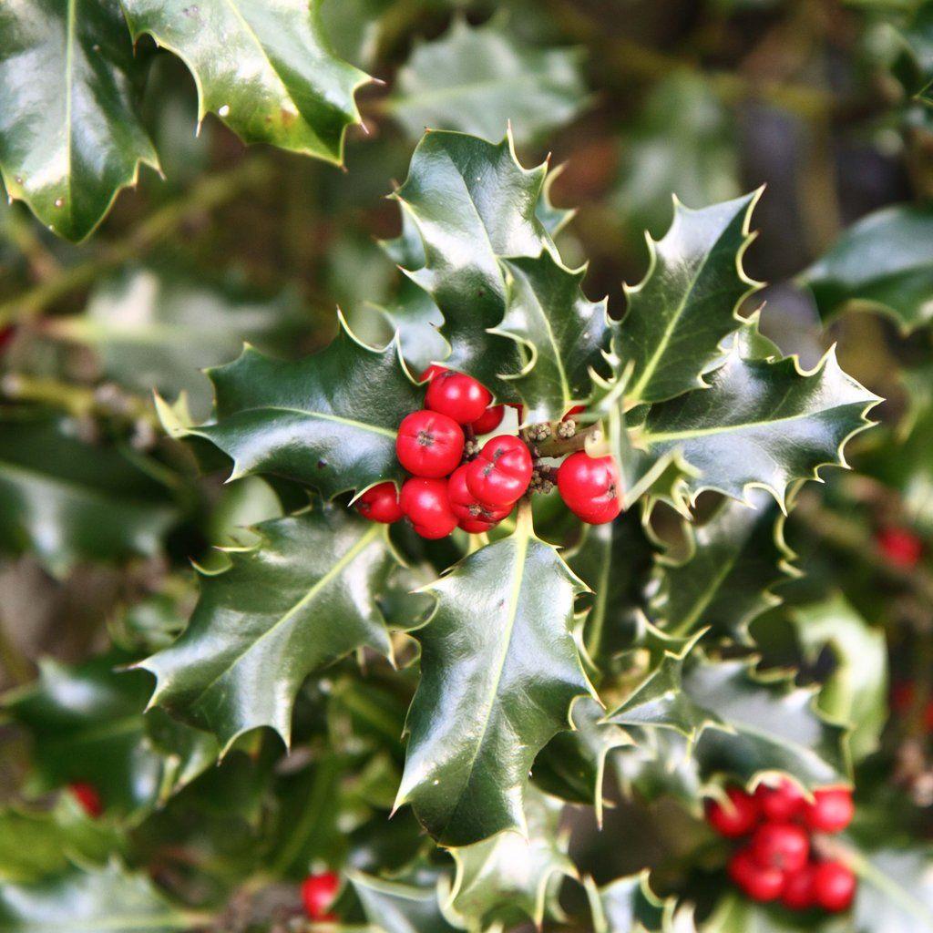 Bouquet De Noel Avec Du Houx Épinglé sur dans les bois