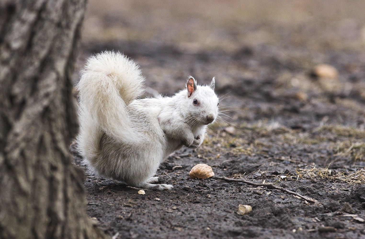 Picture of an albino squirrel