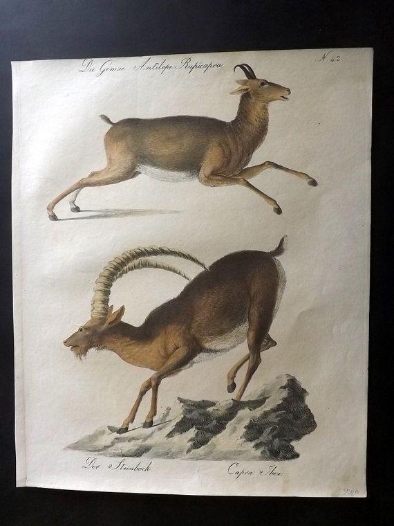 Brodtmann 1816 Folio Hand Col Print. Chamois & by AlbionPrints