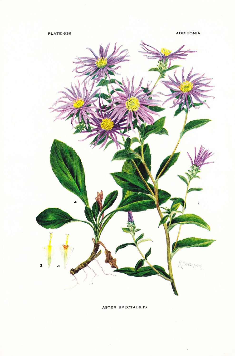 1936 Botany Print Aster Spectabilis Showy Aster