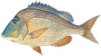 Porgy fish google search saltwater fish pinterest for Porgy fish recipe