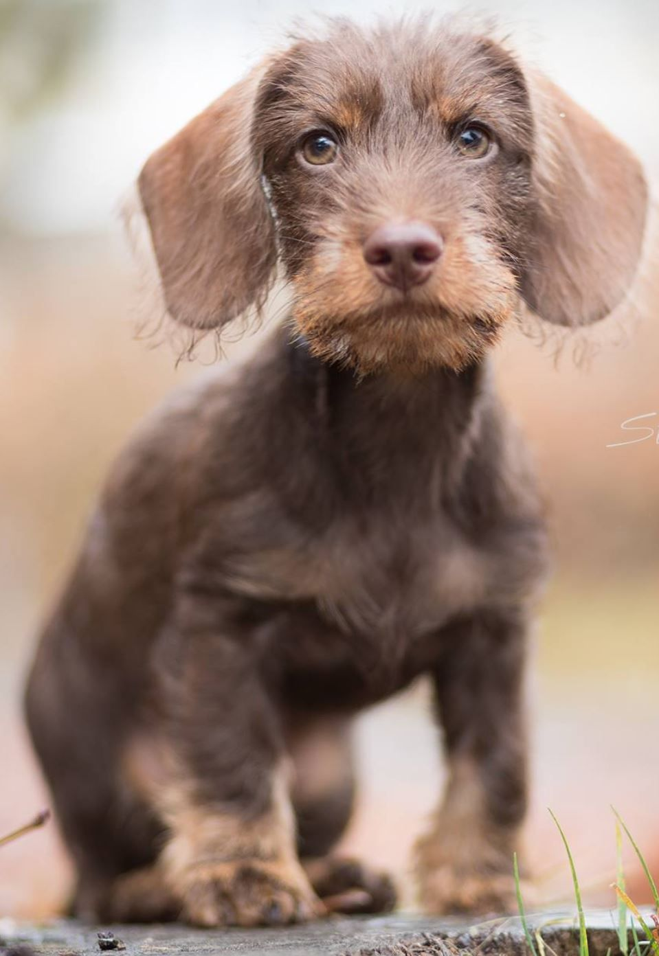 Wirehaired Dachshund Puppy Dog Photography With Images Wire