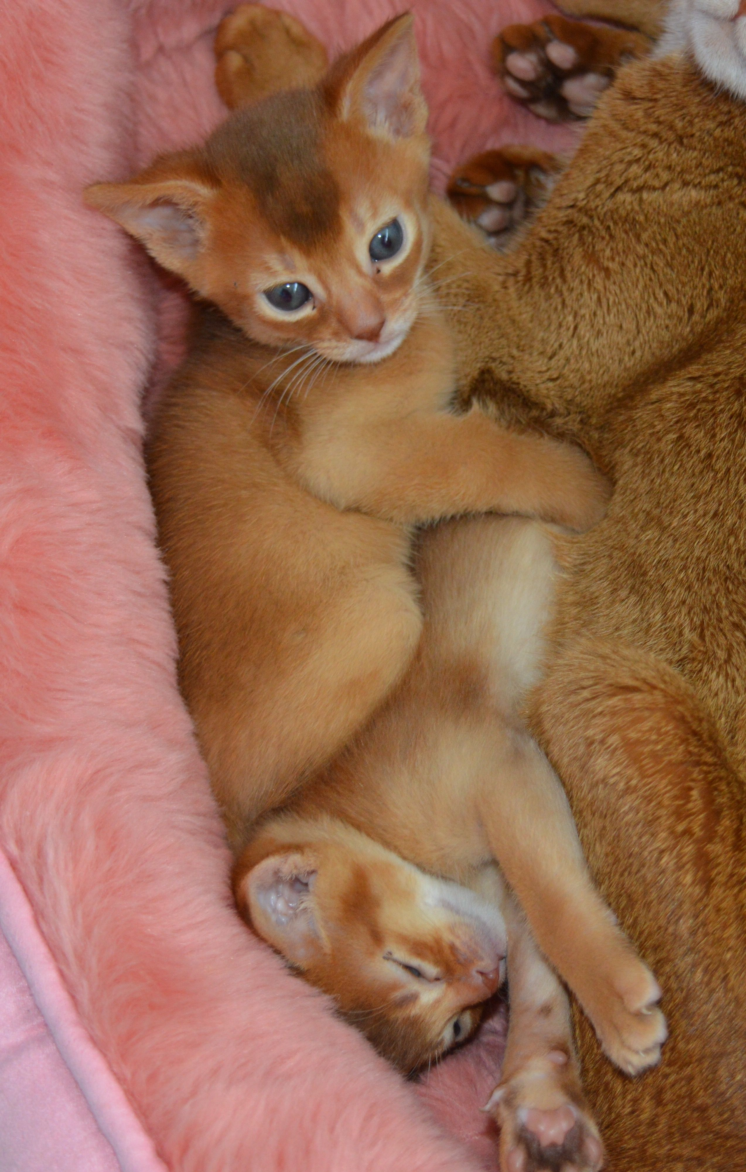 Abyssinian Kittens Playing Happy Familiea Abyssinian Cats Abyssinian Kittens Cats