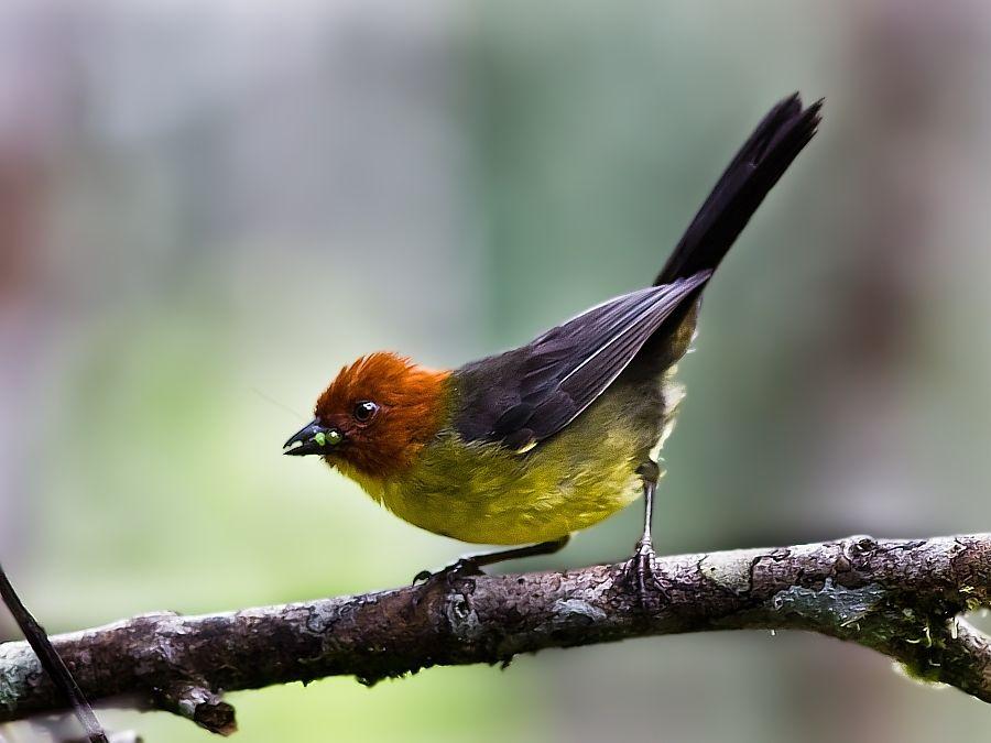 Atlapetes personatus Tepui BrushFinch Birds