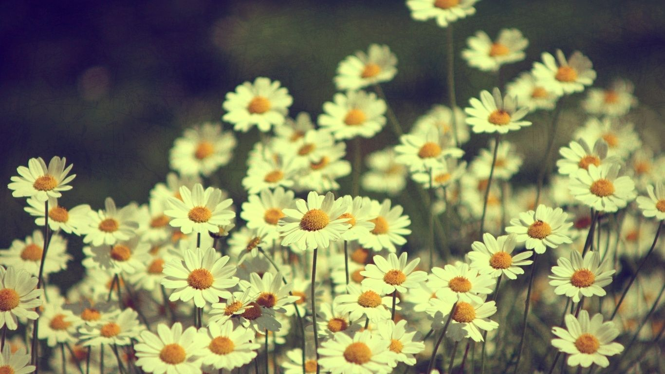 Vintage Daisies Photography HD Wide Wallpaper For Widescreen