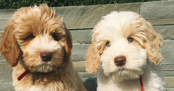 10 Hypoallergenic Dog Breeds You Can Love Without Sneezing