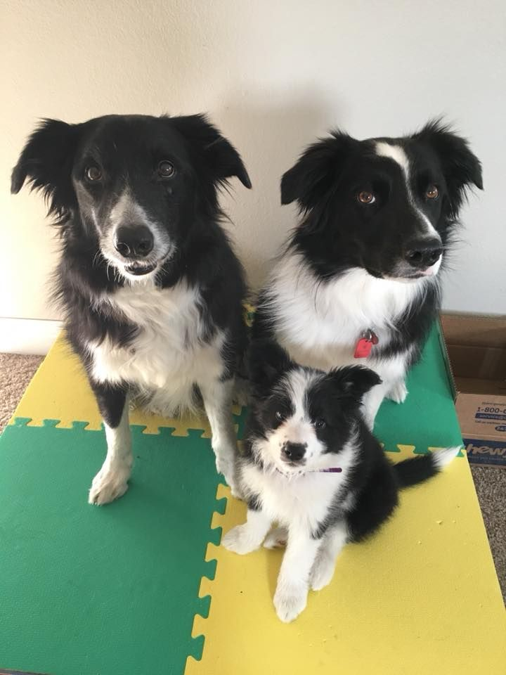 Pin On Border Collie