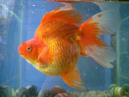 goldfish del criadero de los japoneses aquarium On criadero de peces goldfish
