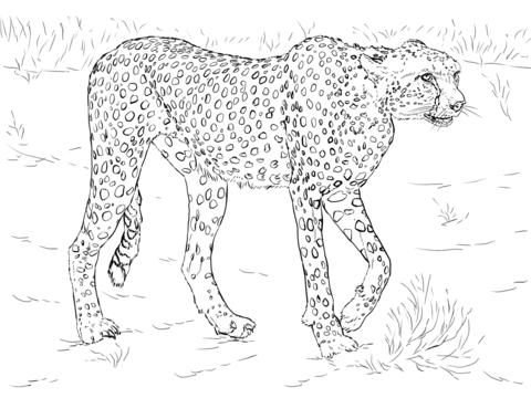 Guepardo Dibujo Para Colorear Animales Dibujos Para
