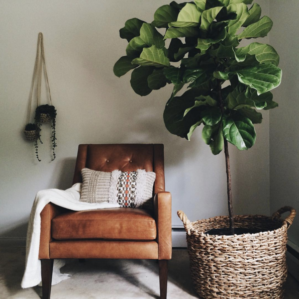 Fiddle Leaf Fig   Domino Magazine