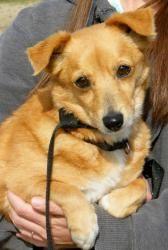 Adopt Ethel On Dog Sounds Corgi Dog Adoption