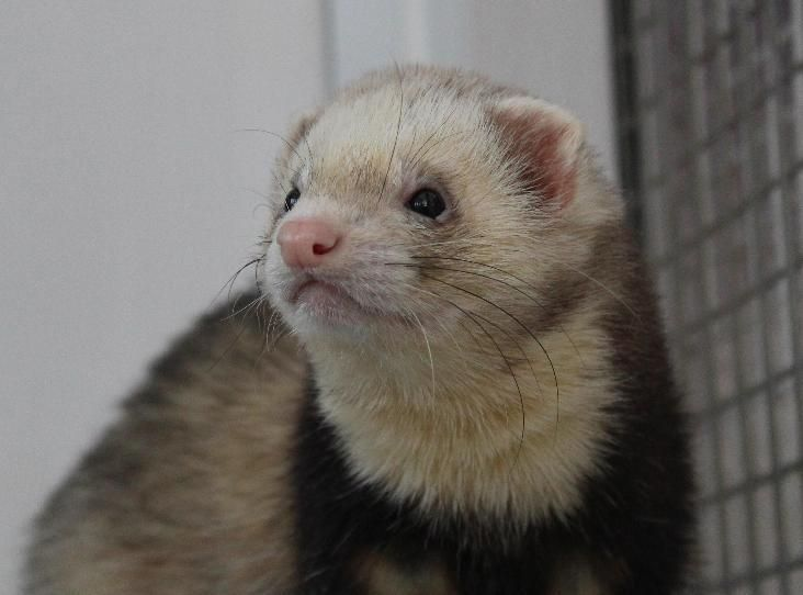 MORRIS Find a pet Ferret colors, Pets