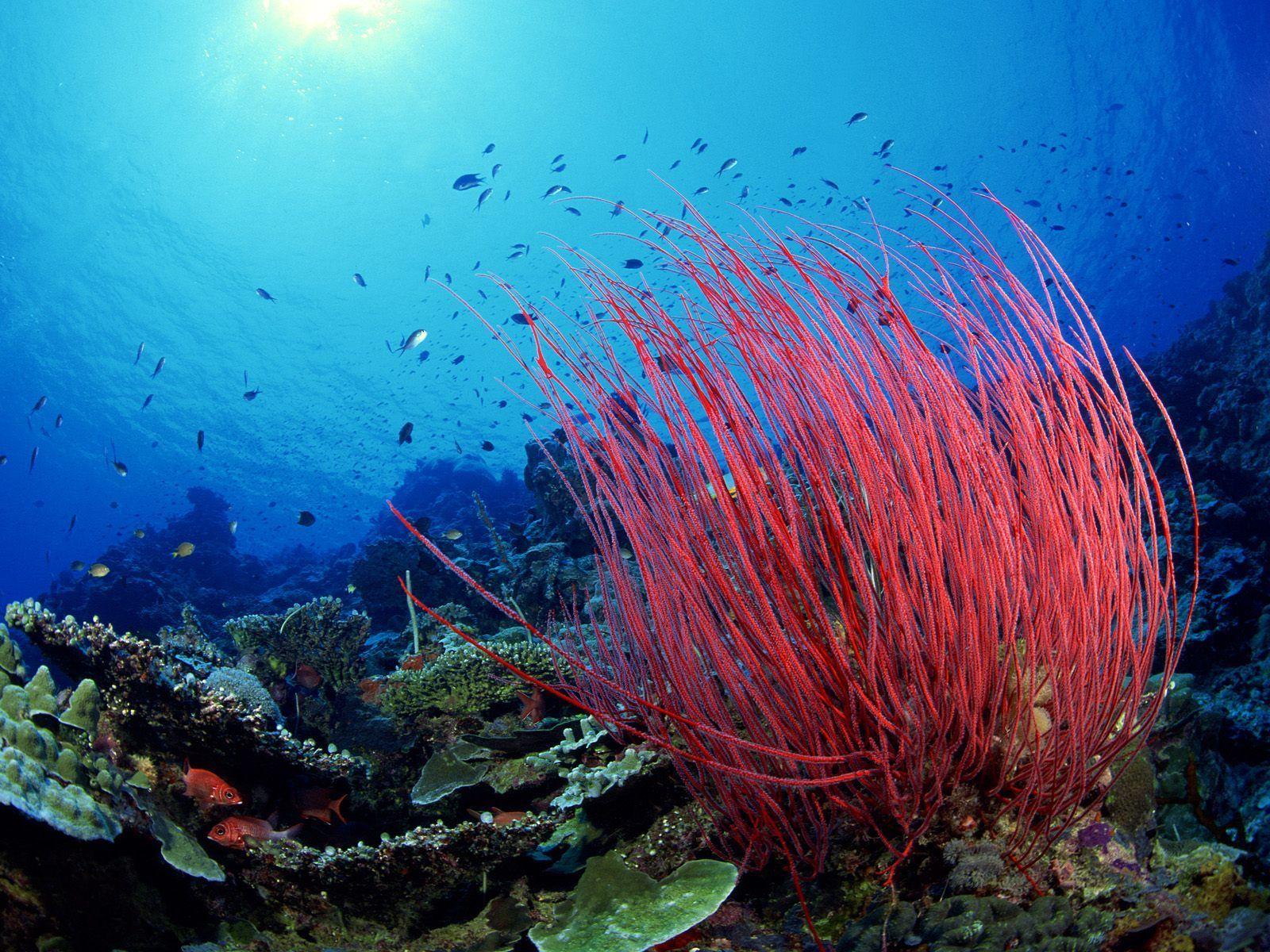 Sea Whip Coral Animal Wallpaper Fish Underwater Seaweed