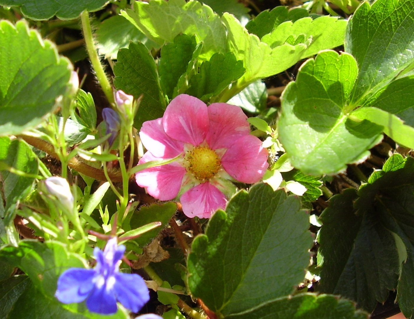 One Of My Strawberry Plants Has Pink Flowers Nov19 Gwr The