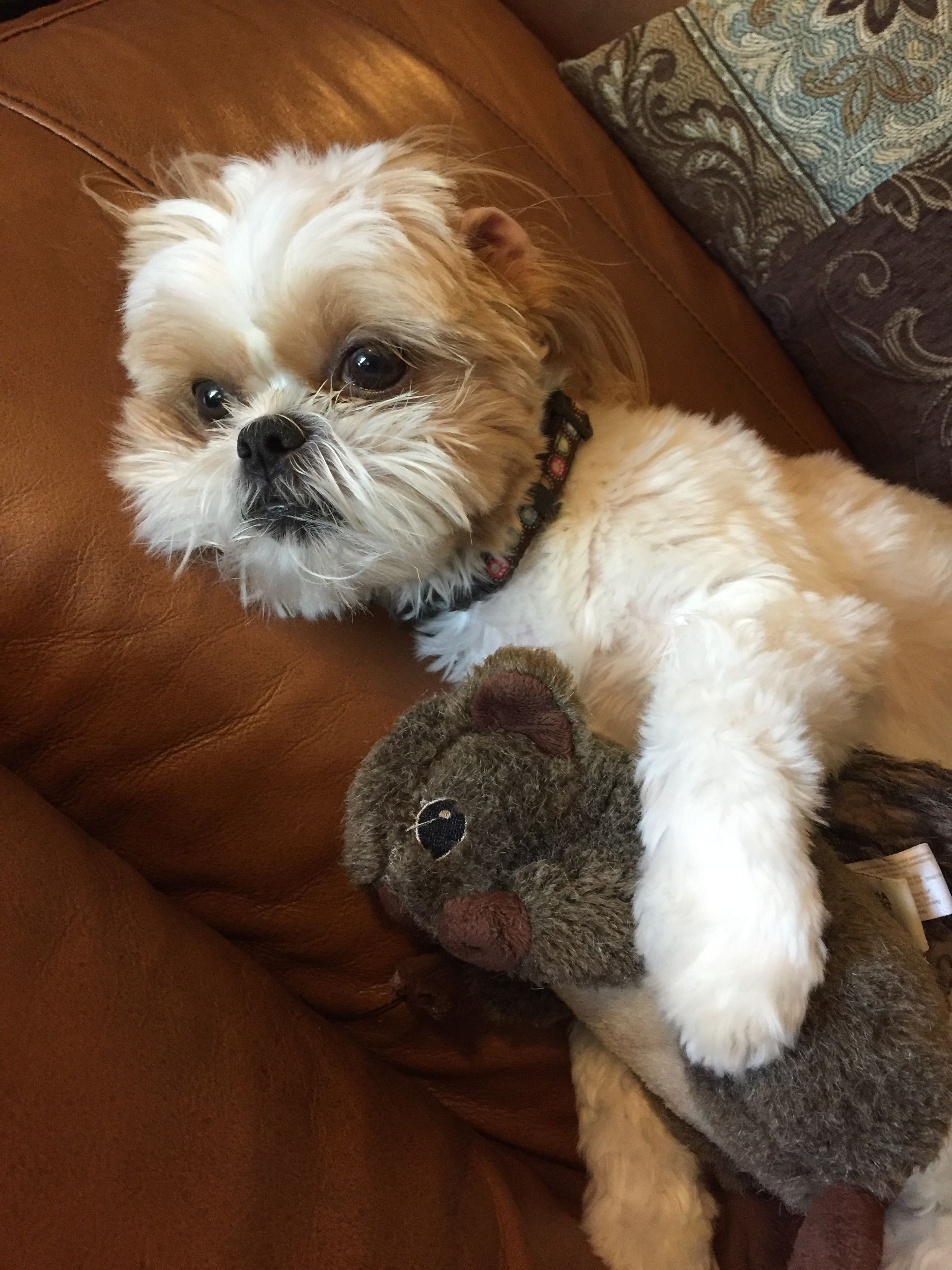 shih tzu don t please don t take my squirrel shih tzu shih tzu cute 8577