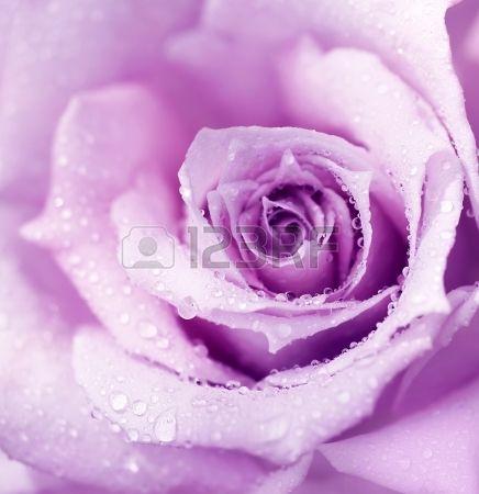 Flower Purple Mrose Background