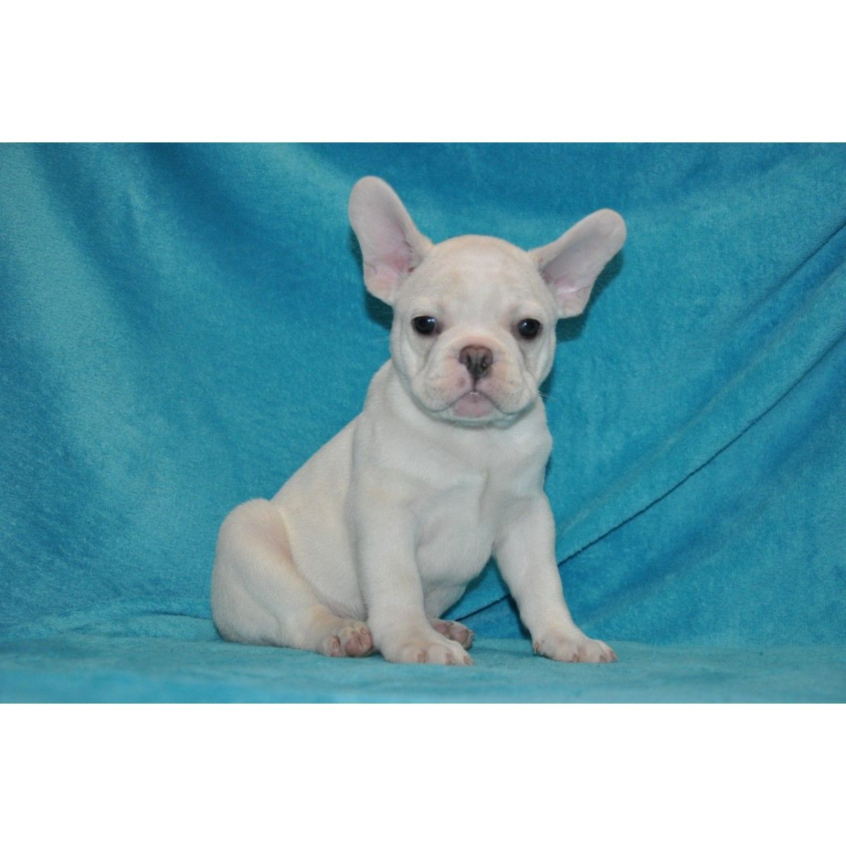 French Bulldog Puppies For Sale Michigan French Bulldog Puppies