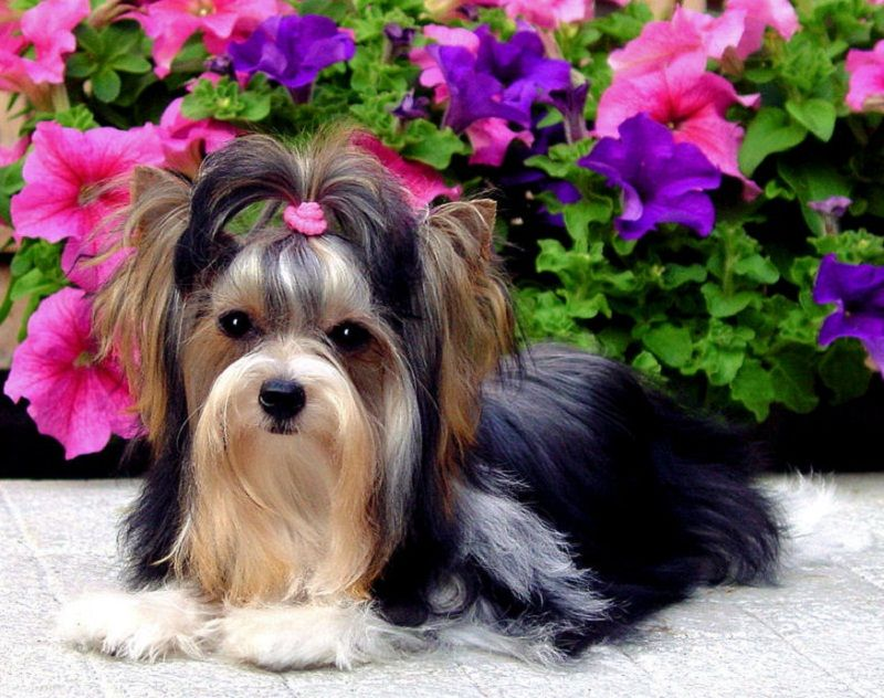 Watching Star Trek (With images) Baby dachshund