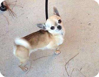 San Antonio Tx Chihuahua Meet Crystal A Dog For Adoption Dog Adoption Chihuahua Pets