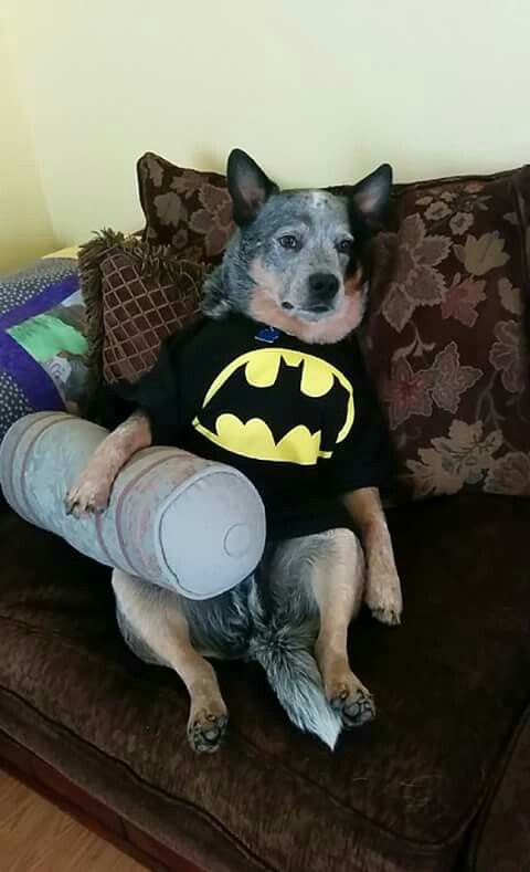 Batman Taking A Break Heeler Style Blue Heeler