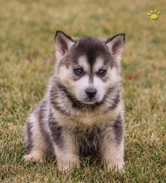 Aldo Pomsky Puppy For Sale In Gordonville Pa Lancaster