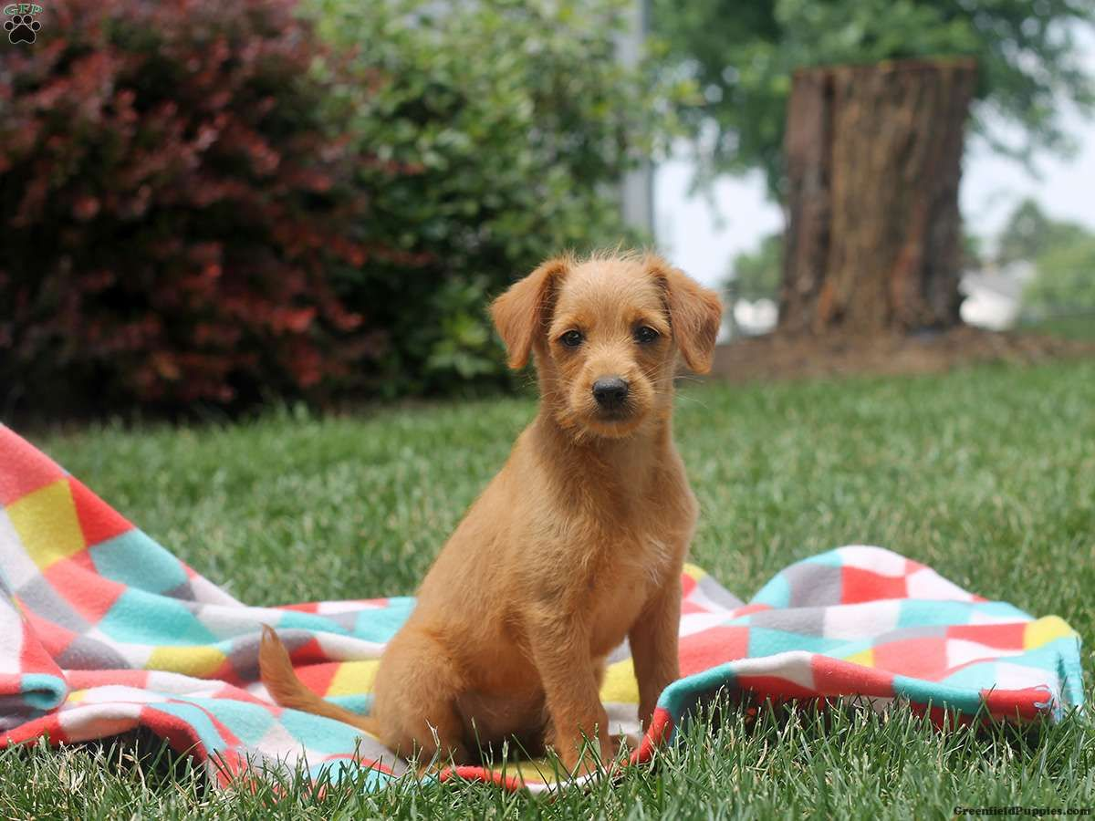 Colleen F1b LabradoodleMiniature Puppy For Sale in
