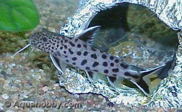 Even Spotted Squeaker Synodontis Petricola Aquarium Fish Cichlids Catfish