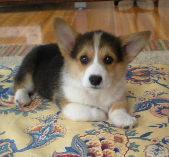 Noble Hearts Pembroke Welsh Corgi Breeder Puppies For Sale Corgi Corgi Dog Corgi Breeders