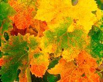 Grape Leaves In Autumn mural