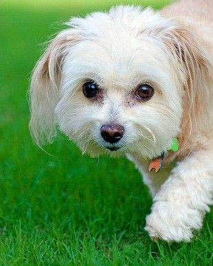 The Poodle Maltese Mix - Information On This Mixed Breed Dog