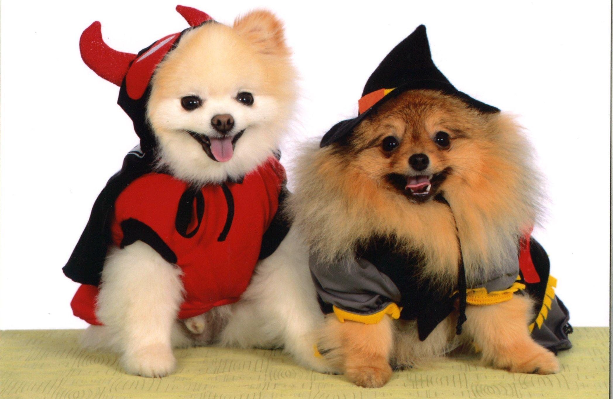 pomeranian, poms, dogs, puppies, halloween | pomeranians | pinterest