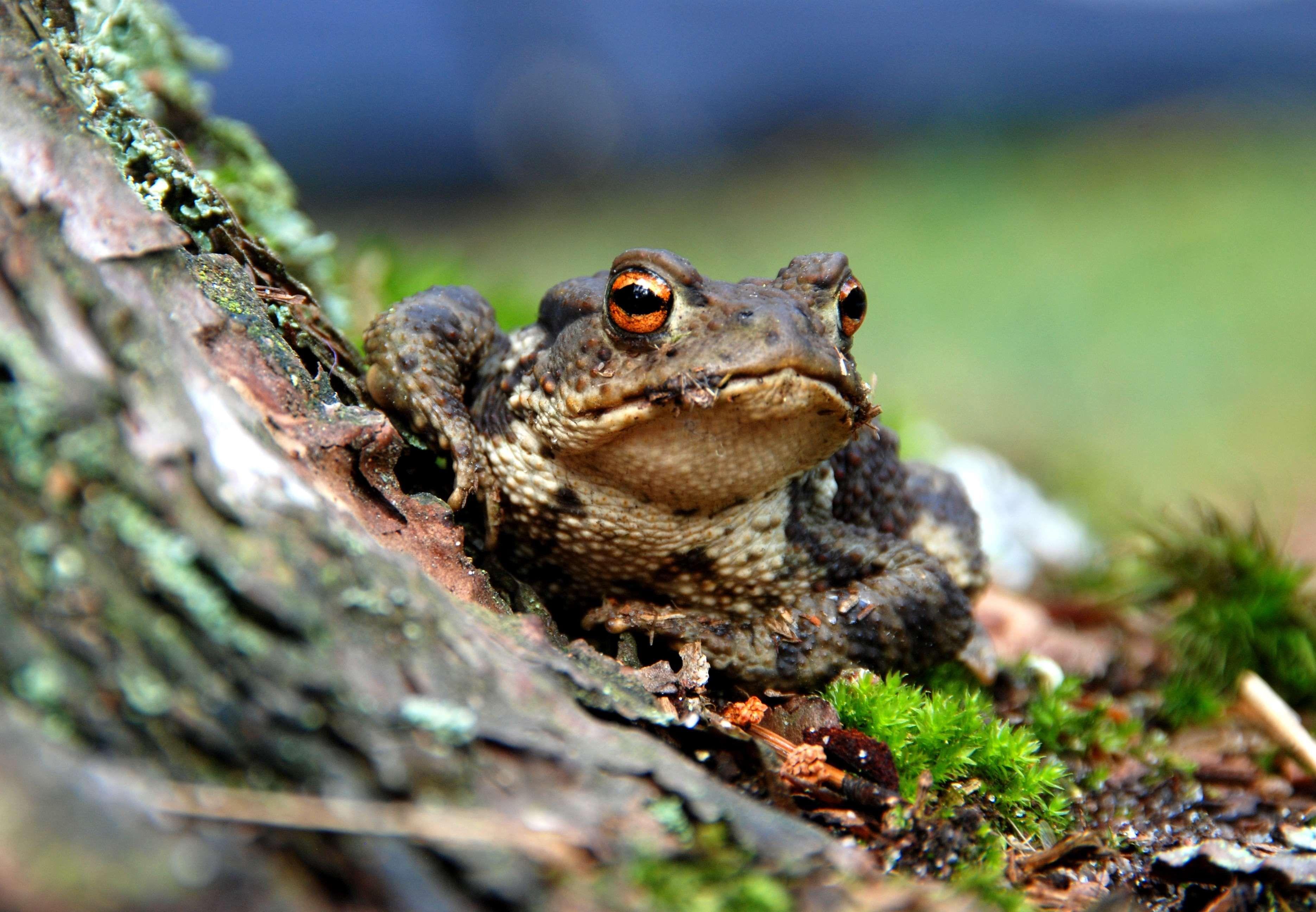 Amphibian Animal Close Up Frog Macro Moss Toad