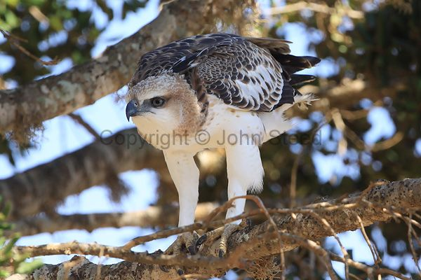 hawks and eagles | ... Hawk-eagle to half-stand and face into the wind to keep balanced